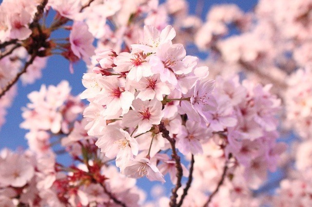 cherry-blossom-London